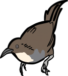 Abbotts Babbler freehand drawings