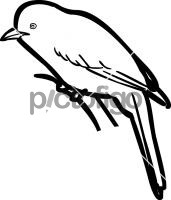 Abyssinian CatbirdFreehand Image