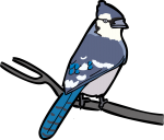 Blue Jay freehand drawings