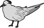 Cabot Tern freehand drawings