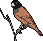 Chestnut Munia freehand drawings
