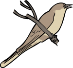 Dark Billed Cuckoo freehand drawings