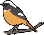Daurian Redstart freehand drawings