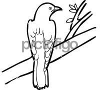 Diederick CuckooFreehand Image