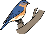 Eastern Bluebird freehand drawings