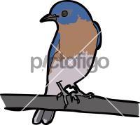 Eastern BluebirdFreehand Image