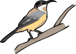 Eastern Spinebill freehand drawings