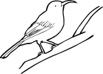 Eastern Spinebill freehand drawings