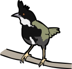 Eastern Whipbird freehand drawings