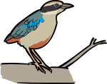 Fairy Pitta freehand drawings