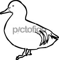 Falcated DuckFreehand Image