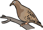 Galapagos Dove freehand drawings