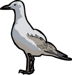 Grey Headed Gull freehand drawings