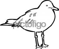 Grey Headed GullFreehand Image