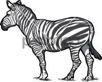 ZebraFreehand Image