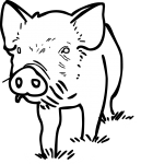 Pig freehand drawings
