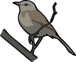 Kalahari Scrub Robin freehand drawings