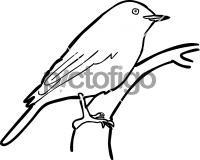 Kashmir FlycatcherFreehand Image