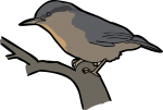 Kashmir Nuthatch freehand drawings