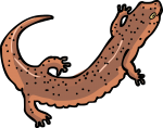 Salamander freehand drawings