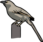 Large Grey Babbler freehand drawings