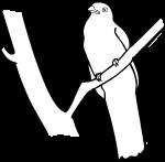 Lattice Tailed Trogon