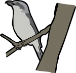 Mackinnons Shrike freehand drawings
