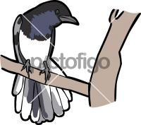 Madagascar Magpie RobinFreehand Image