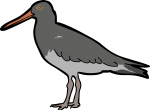 Magellanic Oystercatcher freehand drawings