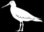 Magellanic Oystercatcher