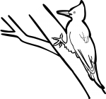 Magellanic Woodpecker freehand drawings