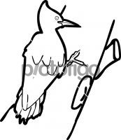 Magellanic WoodpeckerFreehand Image
