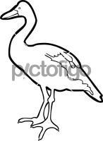 Magpie GooseFreehand Image