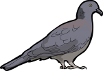 Nilgiri Wood Pigeon freehand drawings