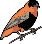 Northern Red Bishop freehand drawings