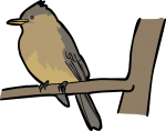 Ochraceous Pewee freehand drawings