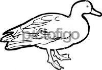 Pacific Black DuckFreehand Image