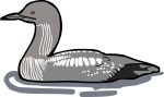 Pacific Loon freehand drawings