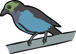 Paradise Tanager freehand drawings