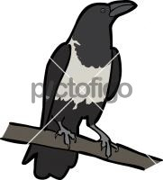 Pied CrowFreehand Image
