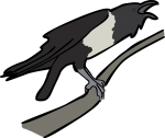 Pied Crow freehand drawings