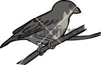 Quailfinch IndigobirdFreehand Image