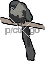 Racket Tailed Treepie