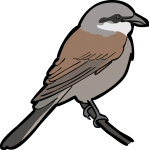 Red Backed Shrike freehand drawings