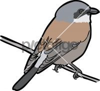 Red Backed ShrikeFreehand Image