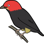 Red Capped Manakin freehand drawings