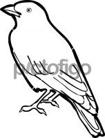 Rufous Tailed LarkFreehand Image