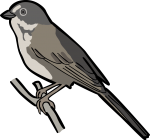 Sage Sparrow freehand drawings