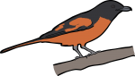 Scarlet Minivet freehand drawings