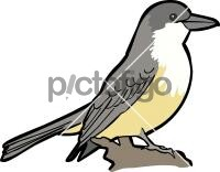 Thick Billed KingbirdFreehand Image